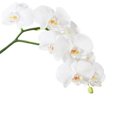 Witte orchidee op een witte achtergrond.