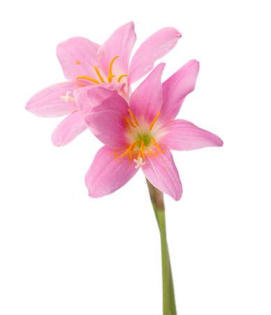 白い背景に分離された 2 つのピンクのユリ。バラ色の雨ユリ