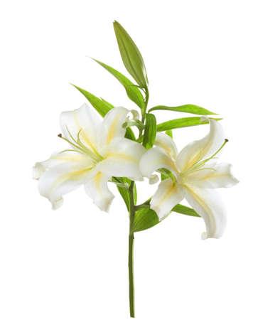 flor de lis: Dos lirios blancos aislados en el fondo blanco