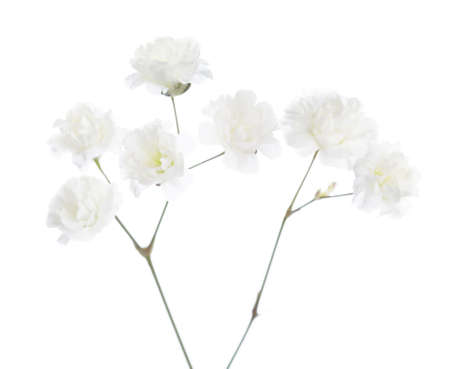 isolated flower: Gypsophila isolated on white background. Very shallow depth of field. Selective focus