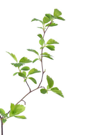 Twigs: Branch with young green spring leaves isolated on white Stock Photo