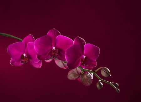 Dark pink  orchid  on vinous  background