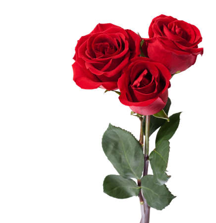 Three dark red roses isolated on white
