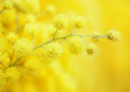 Yellow mimosa flower close-up. very shallow depth of field Imagens