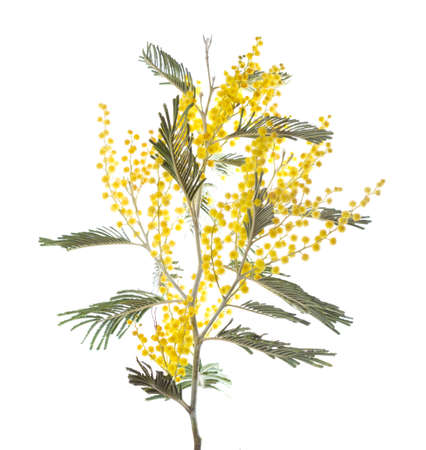 wattle: Mimosa isolated on white background . Shallow depth of field Stock Photo