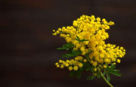 mimose: giallo fiori primaverili di mimose sullo sfondo del vecchio muro marrone