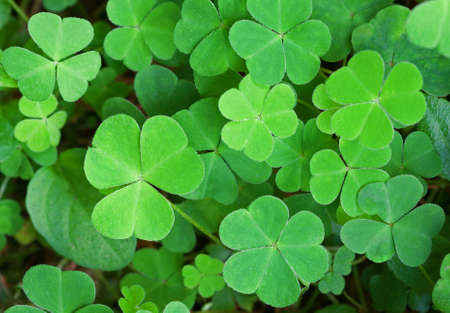 Green background with three-leaved shamrocks. St.Patrick's day holiday symbol. Shallow depth of field, focus on biggest leaf. Archivio Fotografico