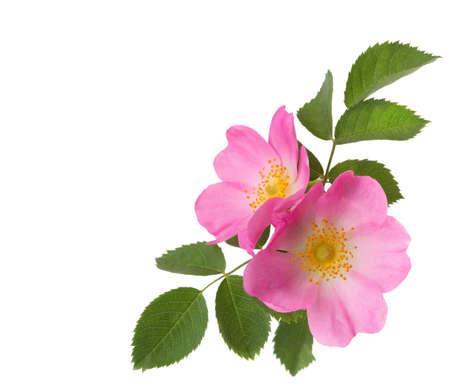 Twee roze rozen geïsoleerd op wit. Rosa canina