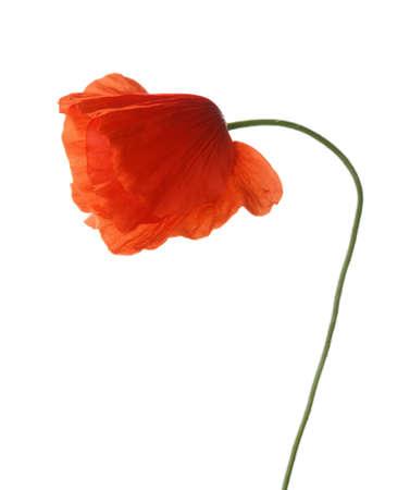 poppy: amapola roja aislada en blanco. tiro del estudio