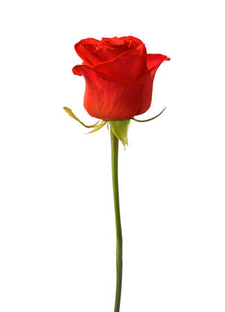 vermeil: Bright red rose  isolated on white background. Stock Photo
