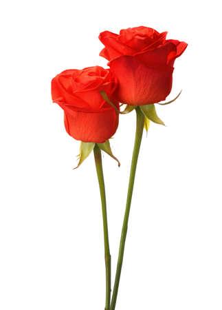 rosas rojas: Dos rosas de color rojo brillante aislado en blanco. Foto de archivo