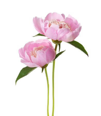 flower close up: Two light pink peones  isolated on white background.