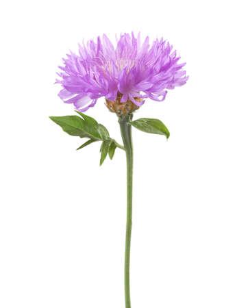 Licht lila bloemen op een witte achtergrond. Perzische Korenbloem Stockfoto