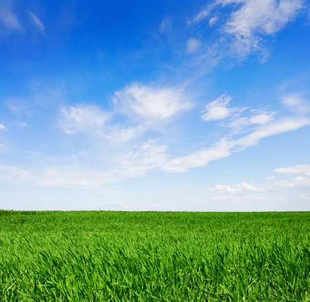 青空: Field of green wheat in a  sunny spring  day.