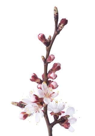 albero da frutto: Albicocca in fiore isolato su bianco.