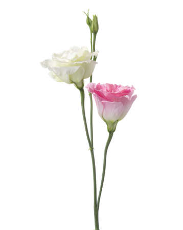 rose coloured: White  and pink flowers isolated on white. eustoma. Focus  on pink flower. Stock Photo