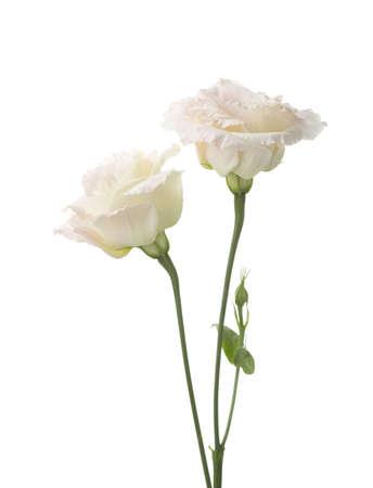 Due pallidi fiori rosa isolati su bianco. eustoma Archivio Fotografico - 53761408