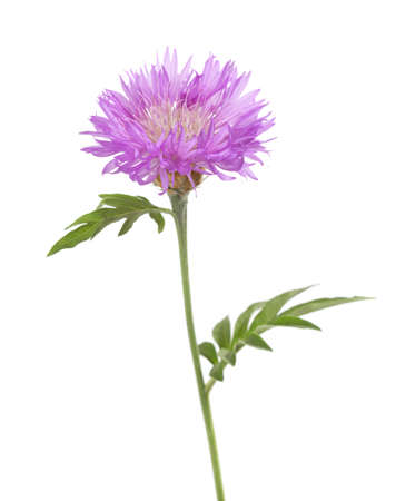 white flowers: Light lilac flower isolated on white background. Persian Cornflower.