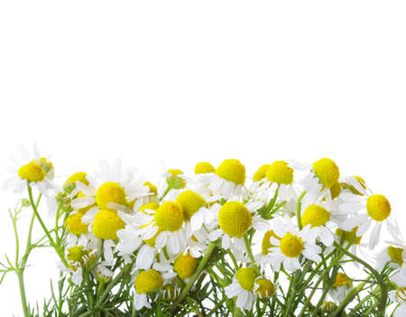 german chamomile: Chamomiles isolated on white background. shallow depth of field. Stock Photo