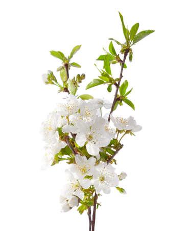 fleur de cerisier: cerisier en fleur isolé sur blanc. Banque d'images