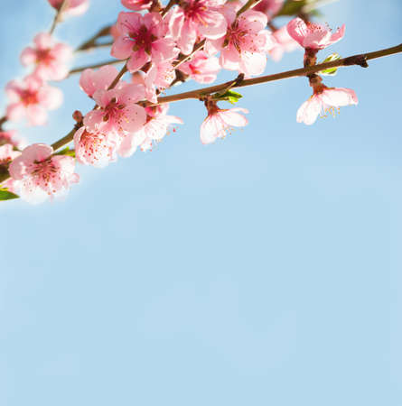 tree branch: Branches with beautiful pink flowers (Peach) against the blue sky. Selective Focus.