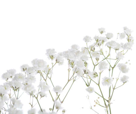 Gypsophila isolated on white background. Shallow depth of field. Selective focus