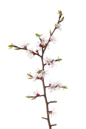 flor de cerezo: Rama en flor aislado en blanco. endrino