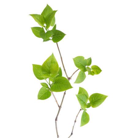 Jeune branche de lilas (Syringa vulgaris) isolé sur blanc Banque d'images