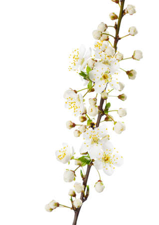 myrobalan: Branch in blossom isolated on white. Cherry plum