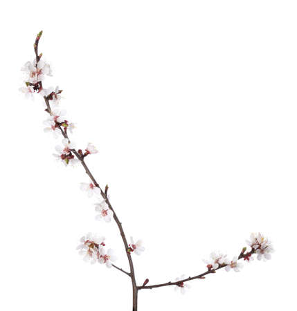 prunus cerasifera: Branch in blossom isolated on white. Cherry plum