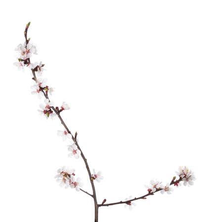 Niederlassung in Blüte isoliert auf weiß. Kirschpflaume