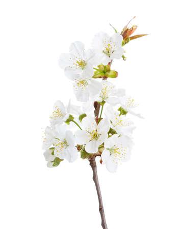 fleur de cerisier: Sweet cherry en fleur isolé sur blanc. Mise au point sélective. Banque d'images