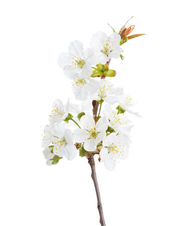 cherry tree: Sweet cherry in blossom isolated on white. Selective Focus. Stock Photo