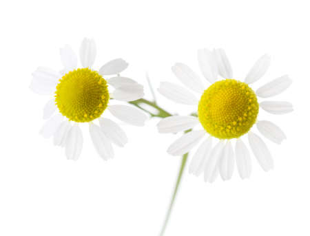 german chamomile: Two Chamomiles isolated on white background. Shallow depth of field.