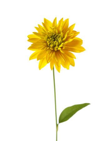 golden glow: Yellow  flower ( Hortensia Golden Glow) isolated on white background Stock Photo
