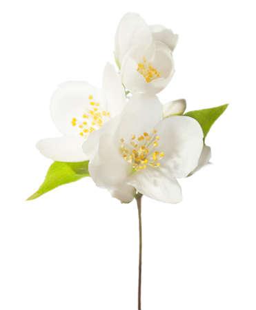 philadelphus: Branch with white flowers isolated on white.  Jasmine