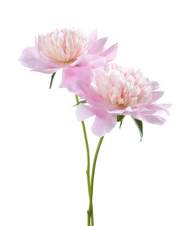 dearness: Two light pink peonies isolated on white background.
