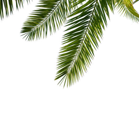 Isolated Palm Leaves on white background Imagens