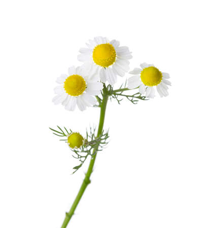 matricaria recutita: Chamomiles isolated on white background.