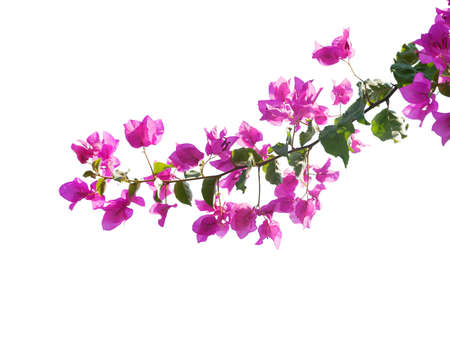 bougainvilleas: Blooming bougainvilleas isolated on white background
