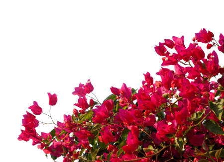 bougainvilleas: Red  bougainvilleas isolated on white background.