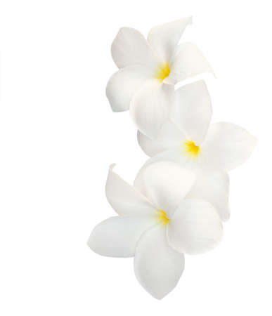 Three tropical flowers (Plumeria) isolated on white. 免版税图像