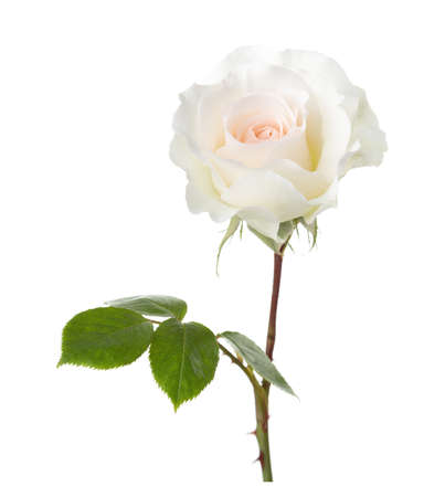 cream color: Rose of cream color isolated on white background.
