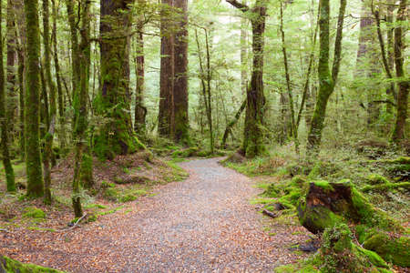 south island new zealand: Pathway through rainforest , Fiordland National Park, South Island,  New Zealand