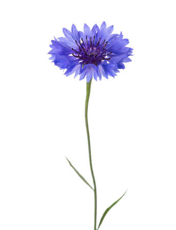 Blue flower (Cornflower) isolated on white background.