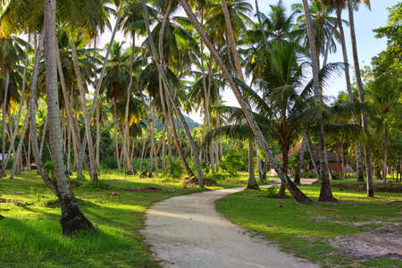 coconut trees: Country road through plantation of coconut trees,   La Digue,  Seychelles