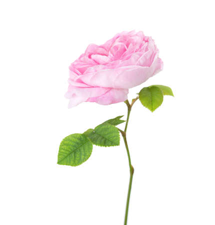 china rose: Light pink rose isolated on white. Tea rose