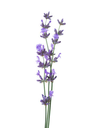 sprigs: Three  sprigs of lavender  isolated on white background. Stock Photo