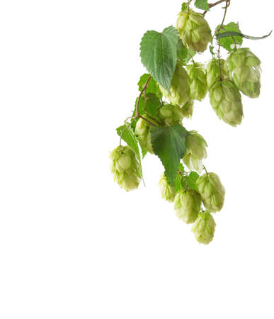 common hop: Branch of hop  isolated on white background