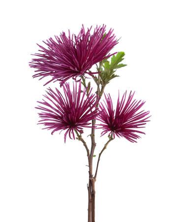 amaranthine: Chrysanthemums isolated on white background.